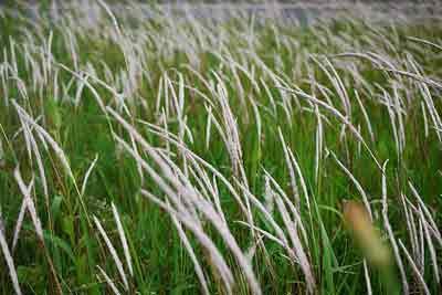 Rễ cỏ tranh lợi tiểu, mát gan