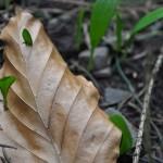 Tác dụng chữa bệnh của tỏi rừng