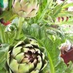 Hoa Atisô loại thảo mộc quý cho mọi gia đình, bạn biết chưa ?