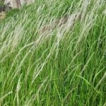 Rễ cây cỏ tranh vị thuốc quý làm mát gan