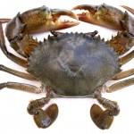 Cua biển hỗ trợ phòng chữa ung thư