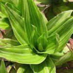 Cây lược vàng có công dụng chữa bệnh quý hơn cả vàng