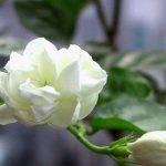 Chữa bệnh từ bài thuốc hoa nhài