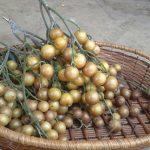 Cây hồng bì và tác dụng chữa bệnh của nó