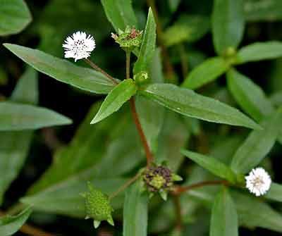 Tác dụng chữa bệnh thần kỳ của cỏ nhọ nồi