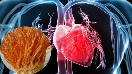 Đông trùng hạ thảo tốt cho hệ tim mạch