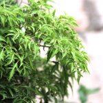 Bài thuốc chữa bệnh từ cây đinh lăng