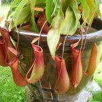 Gan nhiễm mỡ và hiệu quả điều trị bệnh bằng cây nắp ấm