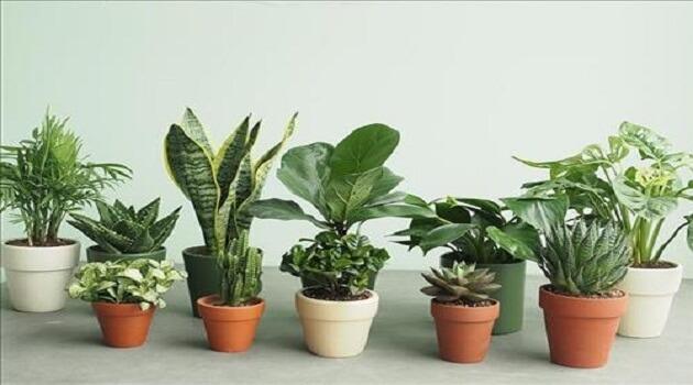 Tuổi Sửu nên trồng loại cây phong thủy nào để 2019 may mắn