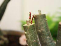 7 bước cắt tỉa cây hoa sứ cho bộ rễ đẹp