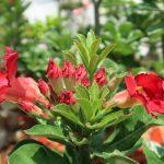 Cây hoa sứ – Đặc điểm cây hoa sứ