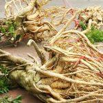 Các loại nhân sâm thường thấy ở Việt Nam