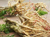 Các loại nhân sâm phổ biến nhất ở Việt Nam