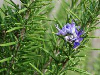 Cây hương thảo giúp kiểm soát cơn đau