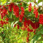 Những thông tin về cây dược liệu Ngũ Vị Tự