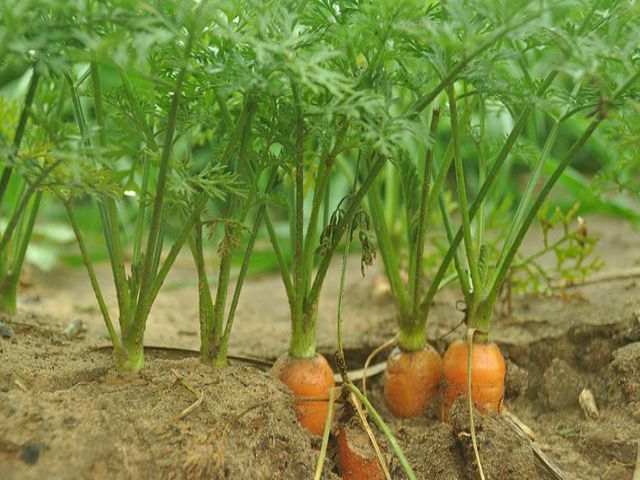 Công dụng của lá cà rốt