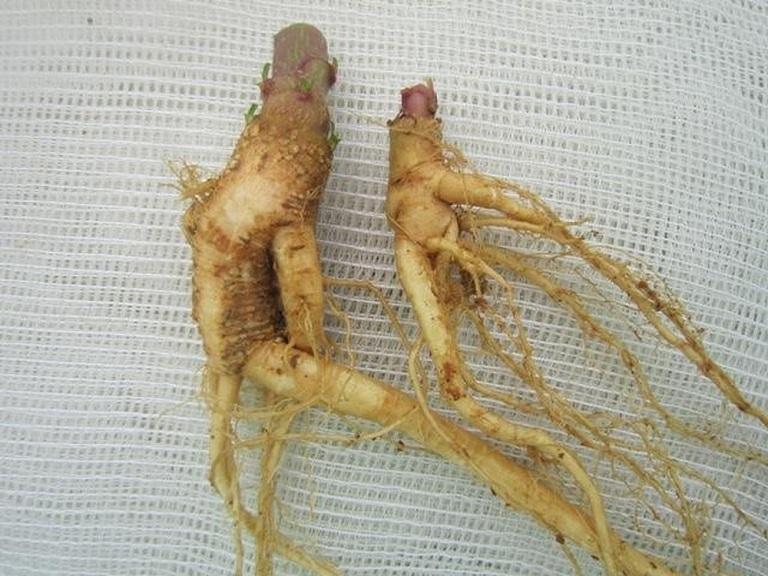Rễ thương lục nhìn giống nhân sâm, có chứa chất độc Phytolaccatoxin C24HJ0O9